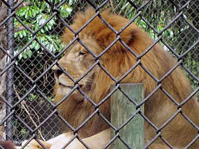 See a variety of animals at the Naples Zoo at Caribbean Gardens