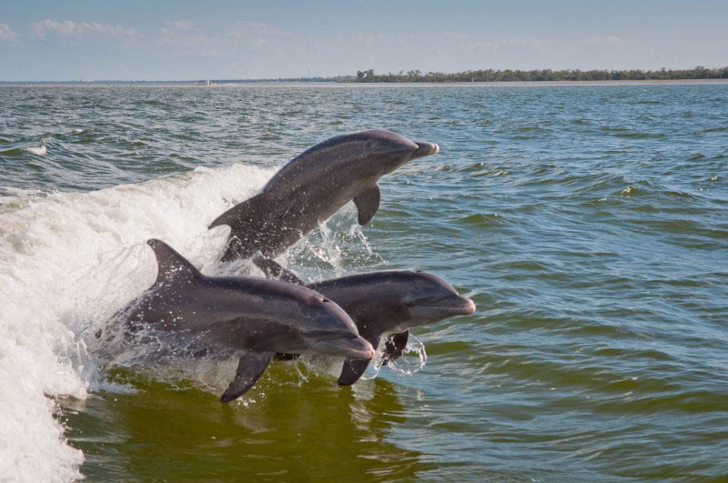 A trio of dolphins play in the water Pine Island Sound Fort Myers, FL