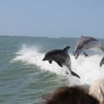 Sanibel Thriller boat tour dolphin jumping in the boat wake Sanibel Island, Florida