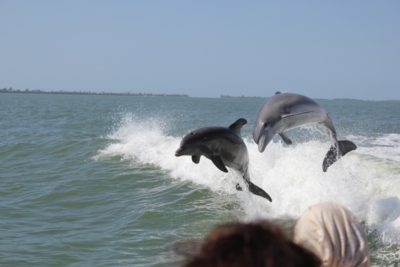 Sanibel Thriller boat tour dolphin jumping in the boat wake Sanibel Island, Florida