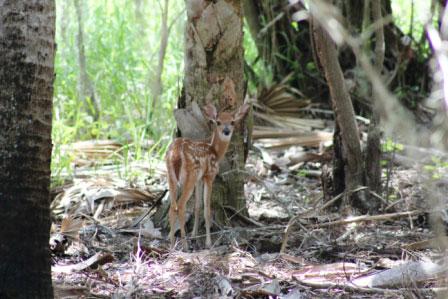 Myakka River State Park deer fawn Must Do Visitor Guides Sarasota, FL