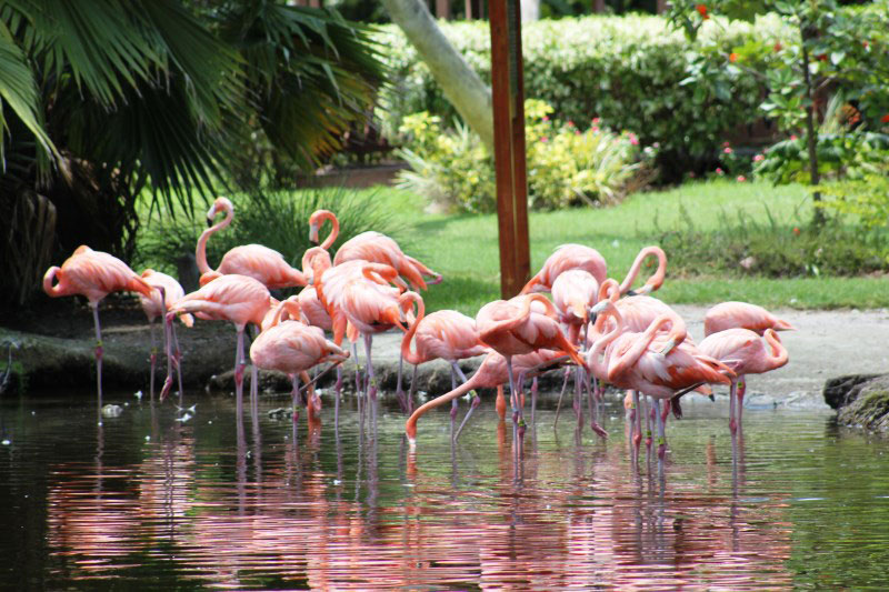 You can hand-feed the Flamingos at Sarasota Jungle Gardens