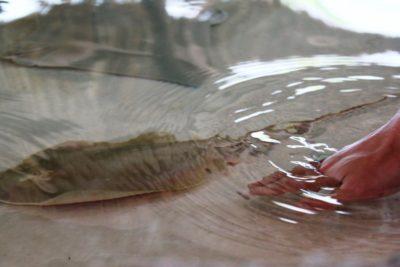 MustDo.com | Mote Marine Aquarium's touch tank - stingrays and other marine life.