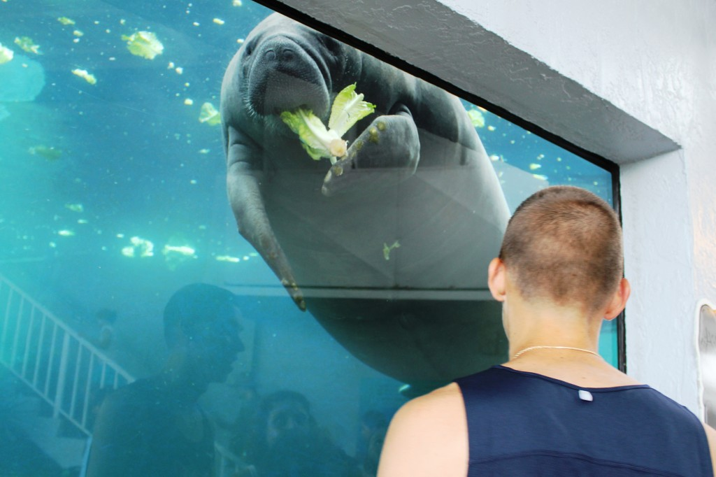 Sarasota, Florida's Mote Marine Aquarium attraction features a daily manatee feeding and is a family fun favorite thing to do when visiting Sarasota.