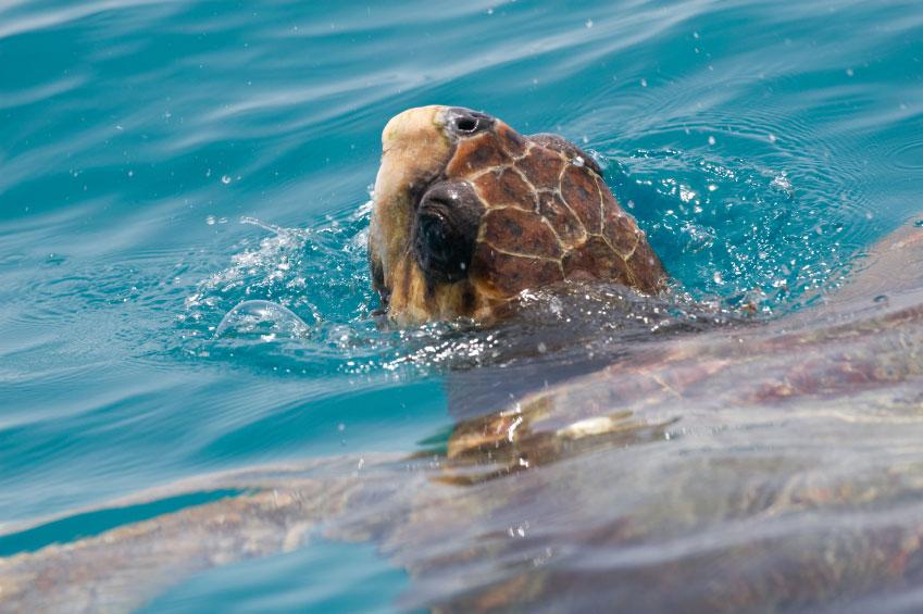 MustDo.com | Loggerhead Turtle (caretta caretta endangared species) swimming.