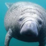 MustDo.com | Florida, or West Indian Manatees can be found in Florida's shallow, slow-moving rivers, estuaries, saltwater bays, canals and coastal areas.
