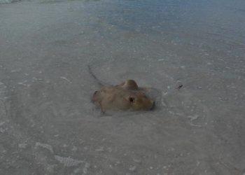 MustDo.com   A stingray along the warm shallow Gulf of Mexico waters. Florida, USA