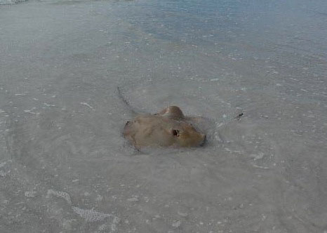 How To Avoid Being Stung By A Stingray With This Tip