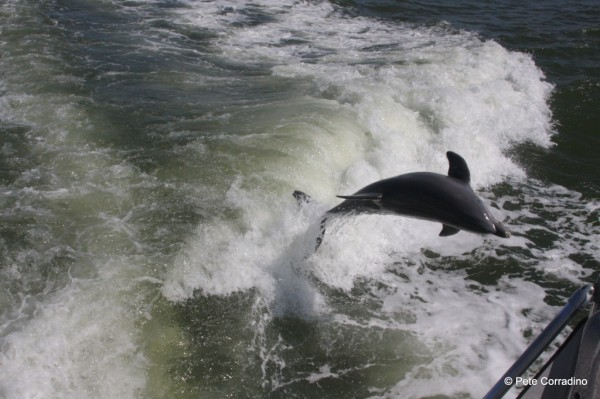 MustDo.com | Dolphin leaping in boat wake Good Time Charters Fort Myers Beach, Florida.
