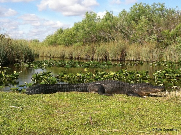 Gator restore additionally Studyarea moreover Wethome furthermore Balearia Bahamas Express 2 furthermore Pythons Can Survive In Saltwater Could Invade Florida Keys 6555007. on water in everglades