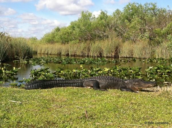 MustDo.com | Everglades Day Safari alligator basking in the Florida Everglades.