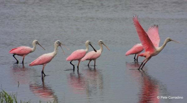 MustDo.com | Roseate Spoonbills Everglades Day Safari a Must Do Fort Myers, Florida day trip.