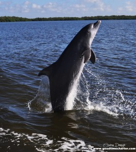 MustDo.com | Dolphin jumping out of the water Good Time Charters dolphin tours Fort Myers Beach, Florida