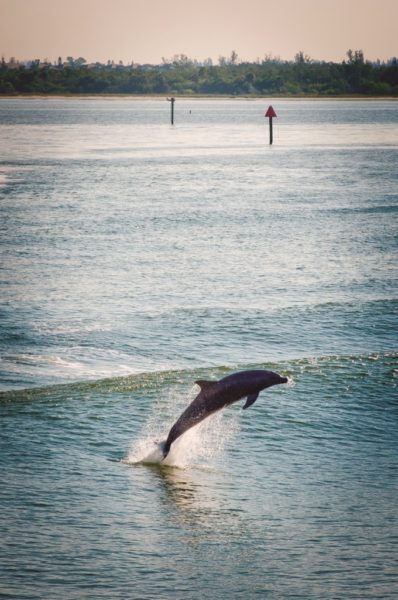 See dolphins on a tour with The Dolphin Explorer tour Marco Island, Florida