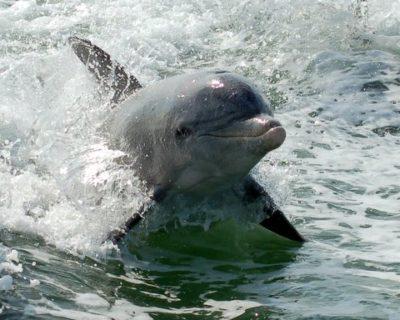 Bottlenose dolphin The Dolphin Explorer tour Marco Island, Florida
