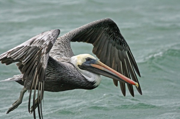 MustDo.com | Southwest Florida birding tips and locations. Brown Pelican