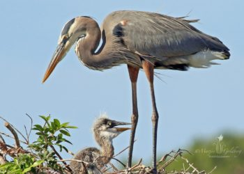 Florida birding tips and locations. Grey Heron mother with chick. Photo credit Marjie Goldberg, Marjie Goldberg Photography.