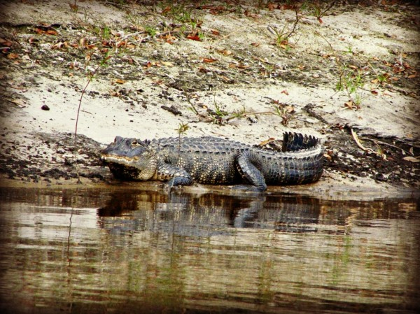 Peace River Charters, Alligator spotted on an airboat tour in Arcadia near Sarasota, Florida
