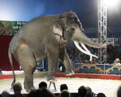 MustDo.com | Big Cat Habitat Elephant performs during a training session.