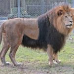 MustDo.com | Handsome the Lion at attraction, Big Cat Habitat & Gulf Coast Sanctuary in Sarasota, Florida