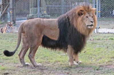 MustDo.com | Handsome the Lion at attraction, Big Cat Habitat & Gulf Coast Sanctuary in Sarasota, Florida