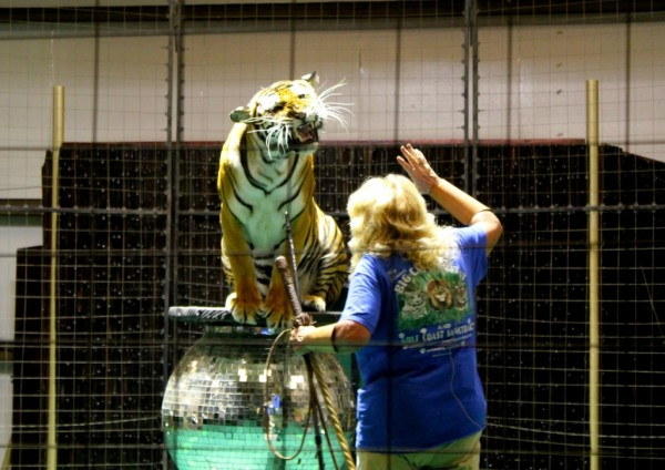 MustDo.com | Kay Rosaire tiger educational training performance at Big Cat Habitat and Gulf Coast Sanctuary in Sarasota, Florida.