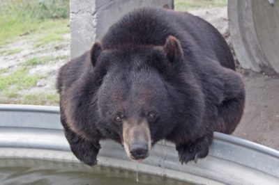 MustDo.com | One of the many bears at Big Cat Habitat and Gulf Coast Sanctuary in Sarasota, Florida