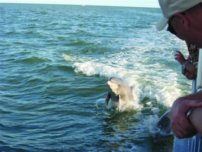 Dolphin plays in the wake of Marco Island Water Sports Calusa Spirit tour boat. Marco Island, Florida