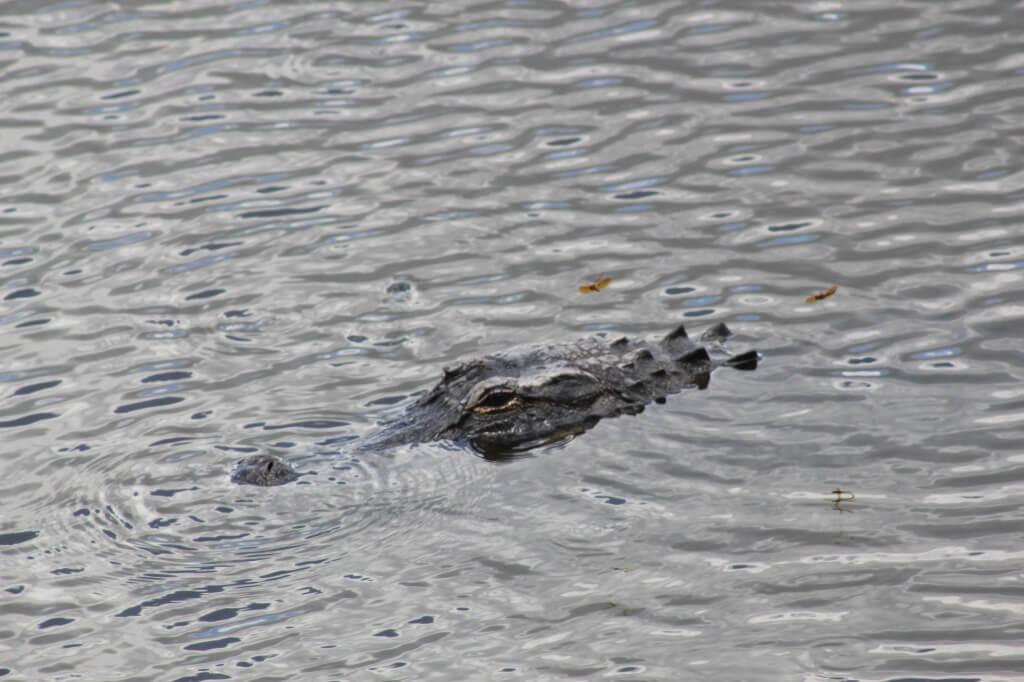 Alligator at Myakka River State Park Sarasota, Florida. MustDo.com