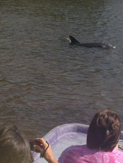 Must Do Visitor Guides   MustDo.com   Dolphin sighting Everglades Island Airboat & Totch's Island Tours Naples & Marco Island, FL