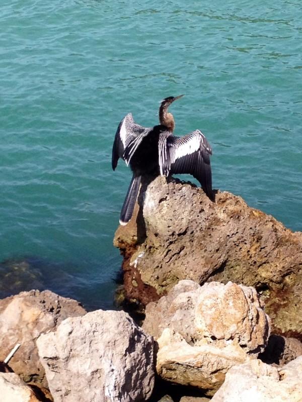 MustDo.com | Anhinga bird drying off its wings Captain Bubby's IsLAND Tours Sanibel Island, Florida