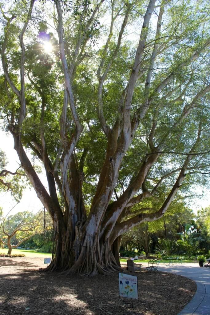 Banyan Tree canopy Selby Botanical Gardens Sarasota, Florida USA. Must Do Visitor Guides MustDo.com