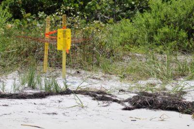 MustDo.com | Loggerhead sea turtle nest on the beach Sarasota, Florida USA. Photo credit Nita Ettinger, Must Do Visitor Guides
