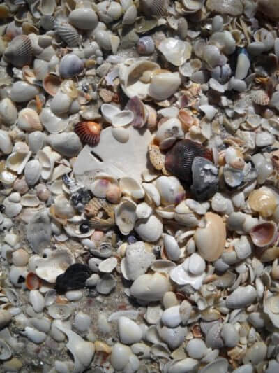 MustDo.com | Sunshine Tours on Marco Island. Sand dollar and Shells galore on the shore at Keewaydin Island, FL.