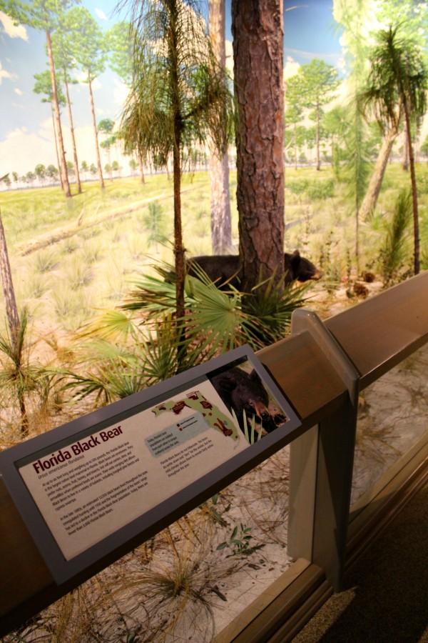 MustDo.com| Florida Black Bear exhibit at South Florida Museum Bradenton, Florida