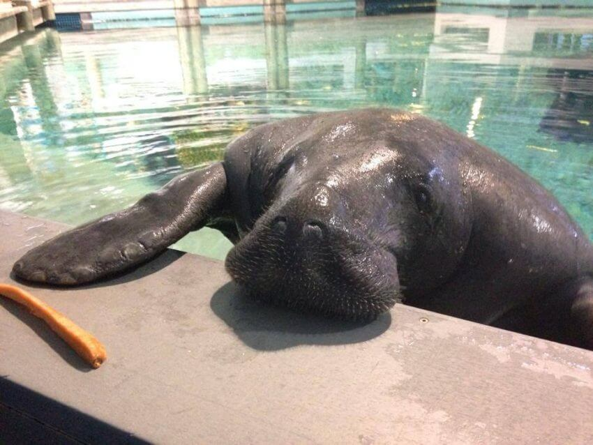 MustDo.com, Must Do Visitor Guides. World Famous manatee Snooty Parker Manatee Aquarium at South Florida Museum in Bradenton, Florida.