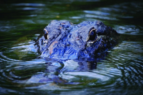 MustDo.com | Take an airboat ride to see alligators in the Florida Everglades.