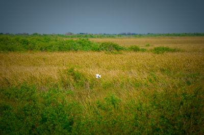 MustDo.com | Bird flying in the Florida Everglades near Naples.