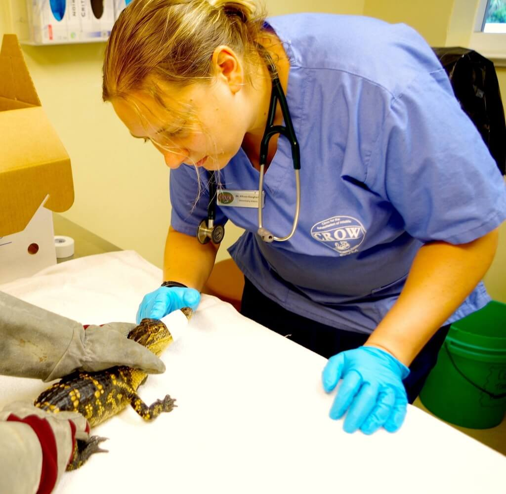 MustDo.com | Baby alligator CROW wildlife hospital Sanibel Island, Florida