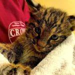 MustDo.com | Rescued Bobcat kitten CROW Sanibel Island, Florida