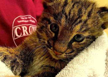 MustDo.com   Rescued Bobcat kitten CROW Sanibel Island, Florida