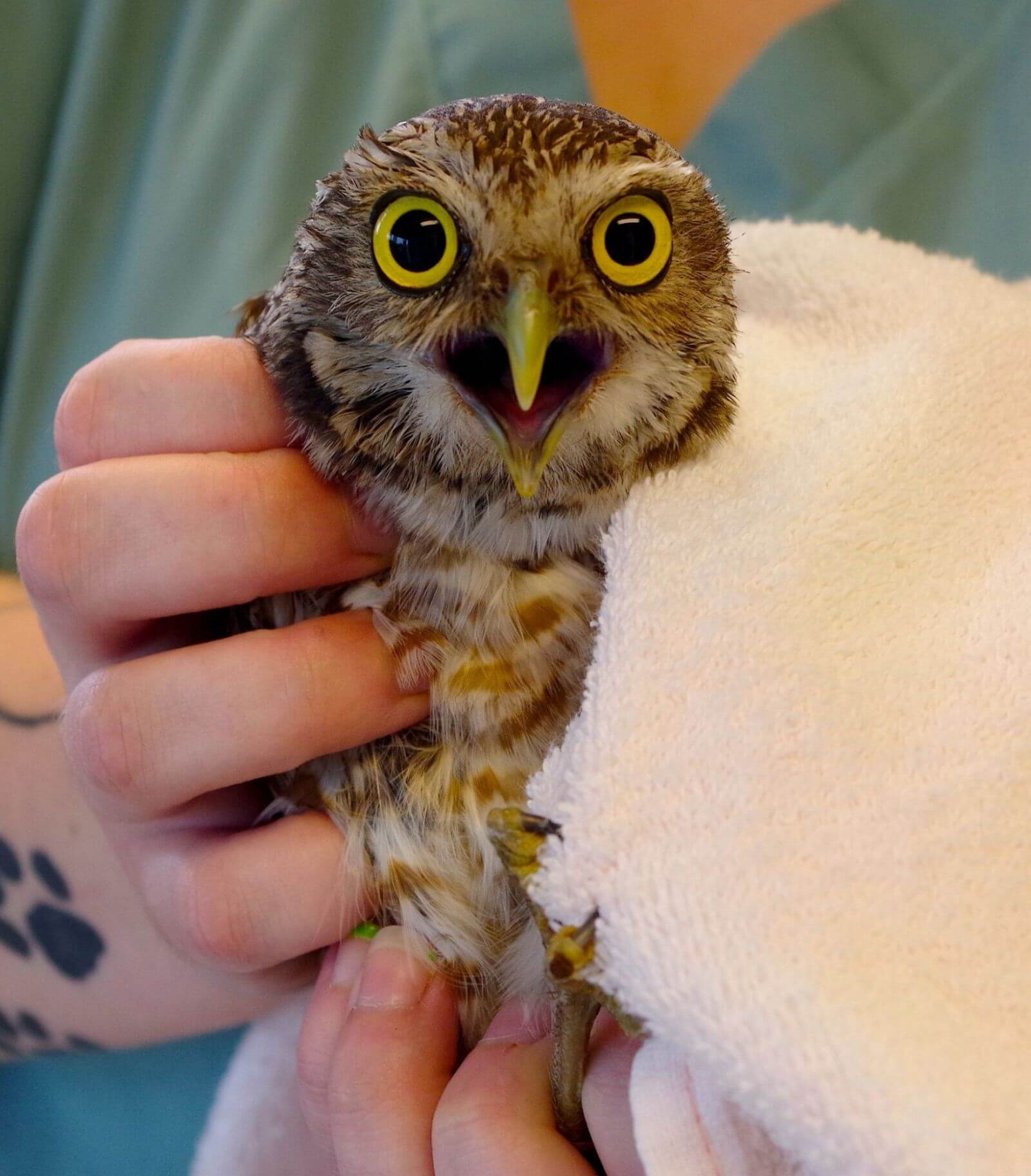 MustDo.com | Rescued owl in rehab at CROW hospital on Sanibel Island, FL