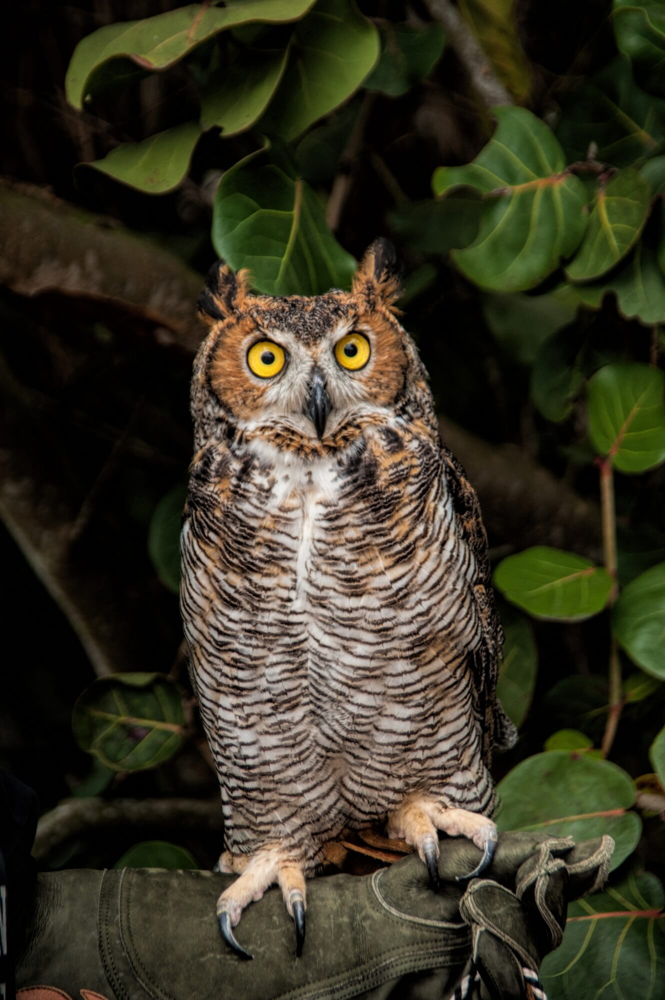 MustDo.com | Bella, a glove-trained great horned owl at Peace River Wildlife Center in Punta Gorda, Florida.