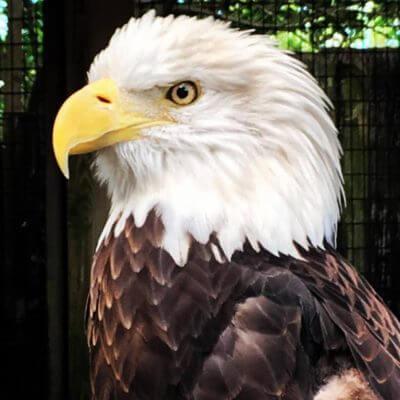 MustDo.com | Bald Eagle recovers at Peace River Wildlife Center in Punta Gorda, Florida.