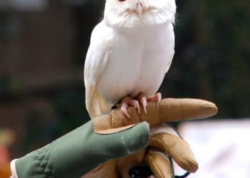 MustDo.com | Luna, a leucistic (or albino) screech owl, is one of Peace River Wildlife Center's most popular residents. Punta Gorda, Florida.