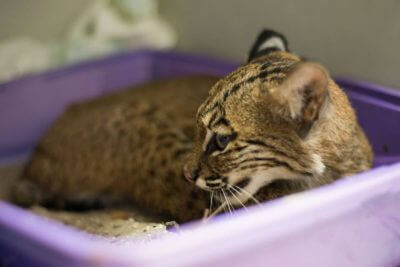 MustDo.com | Rescued baby bobcat recovers at Peace River Wildlife Center in Punta Gorda, Florida.
