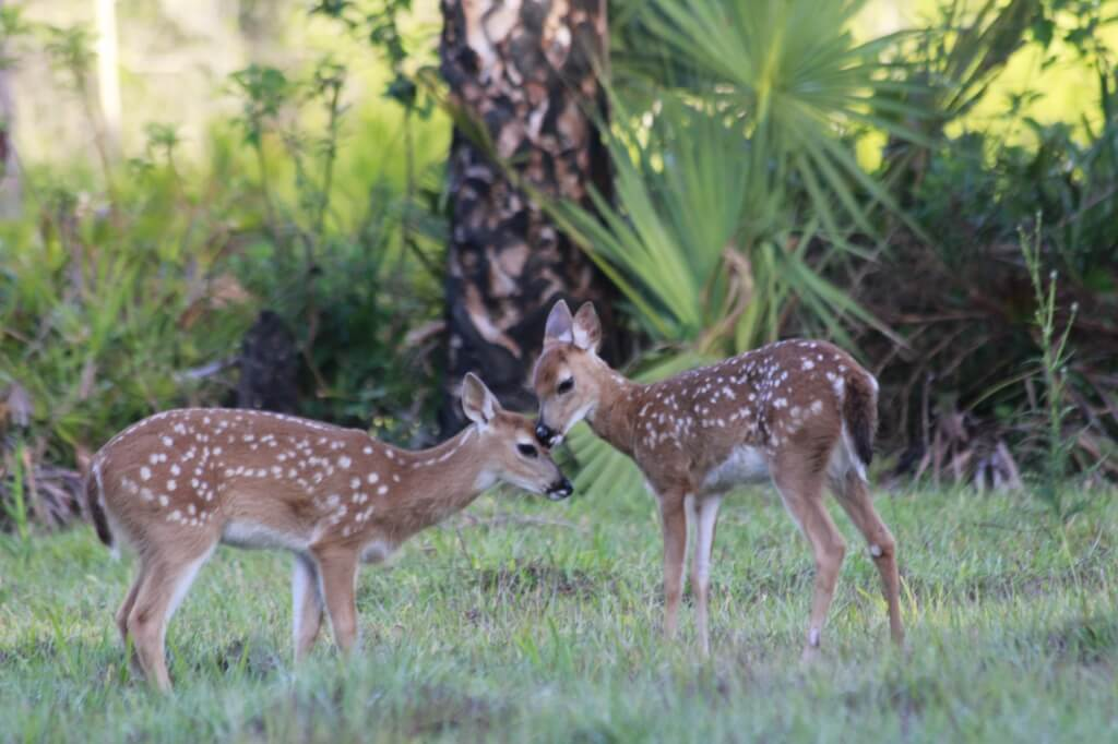 MustDo.com | Two fawns spotted on a Babcock Wilderness Adventure tour in Punta Gorda, Florida.