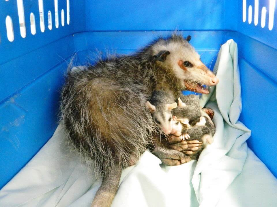 MustDo.com | An injured mother Virginia opossum protects her babies in a hospital cage at Peace River Wildlife Center in Punta Gorda, Florida.