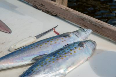Fresh catch fish Southwest Florida. Visit MustDo.com for fishing charter info and things to do.