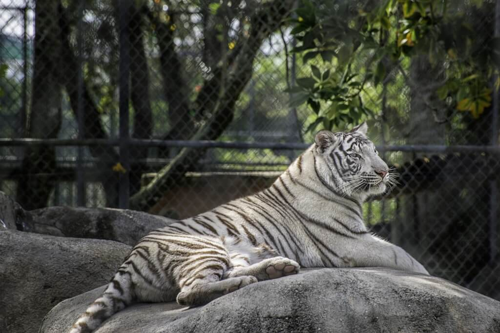 MustDo.com | The Big Cat Habitat in Sarasota, Florida offers educational animal demonstrations and guided tours of its local animal sanctuary.